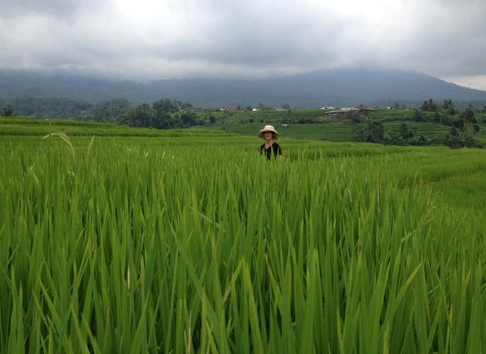 Rice Fields ofBali